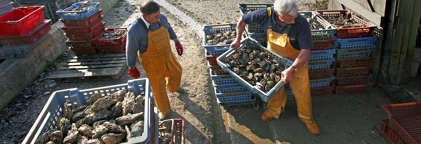 A Fresh Catch of Oysters on Mersea Island